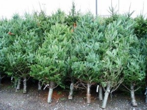 Buy A Real Christmas Tree From Jardines Trosset Garden Centre Real Christmas Trees For Sale - Webfindr